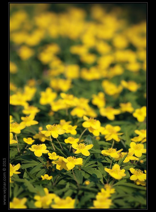 Sasanka pryskyřníková - Anemone ranunculoides