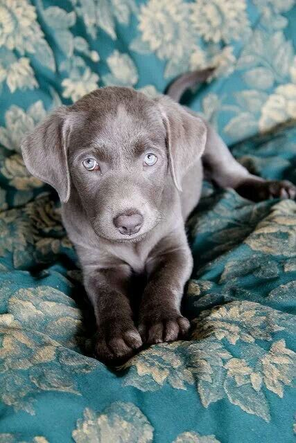 Cute silver lab puppy.