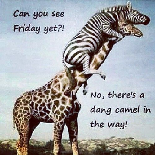 zebra giraffe hump day funny | Similar Galleries: Can You ...