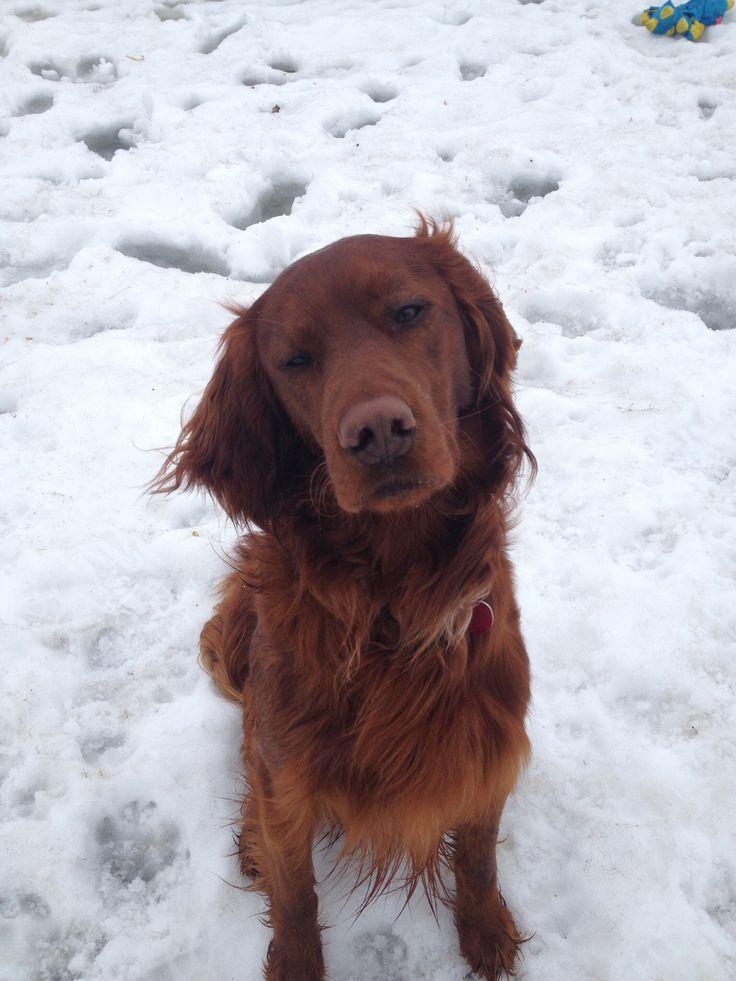 My golden retriever, irish setter mix! DOGS!! ️