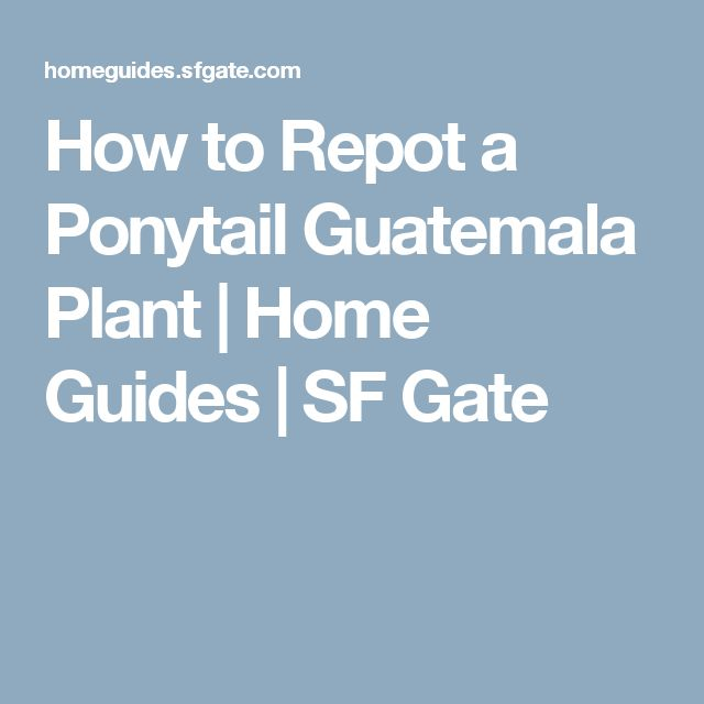 How to Repot a Ponytail Guatemala Plant   Home Guides   SF Gate