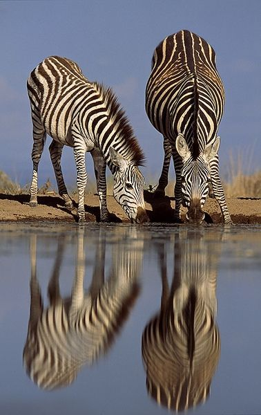 Make one special photo charms for your pets, 100% compatible with your Pandora bracelets.  African Wildlife Zebras