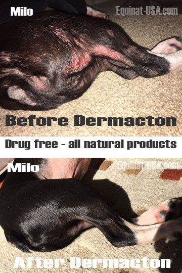 "Dermacton results: Boston terrier recovering from seasonal allergies with all natural products #dog #allergies ""natural"