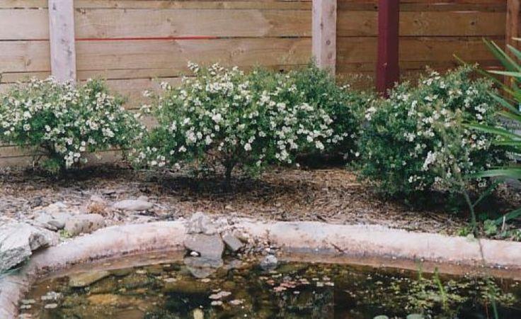Leptospermum Lemon Bun - Austraflora 50 - 100 cm