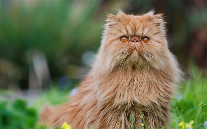 Download wallpapers Persian Cat, brown fluffy cat, 4k, cute animals, big cats, breeds of fluffy cats, kitten