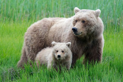 A grizzly bear cub looks just like its mom.