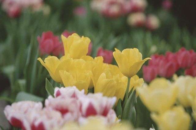 Can You Save Tulip Bulbs After The Flowers Die Hunker Planting Tulips Growing Tulips Bulb Flowers