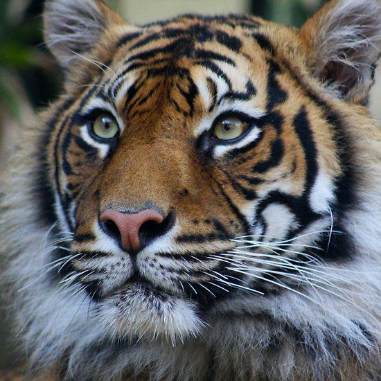 Best 25+ Siberian tiger ideas on Pinterest   Tigers ...