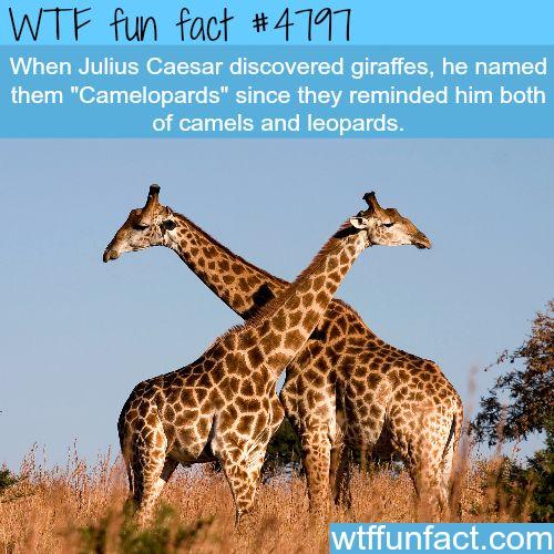 Best 20+ Fun Facts About Giraffes ideas on Pinterest | First in ...