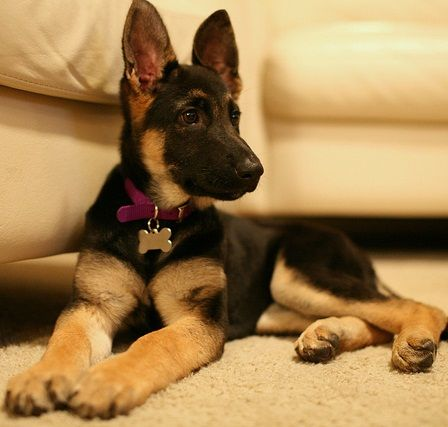 Click on the photo above to learn how to choose the proper German Shepherd food