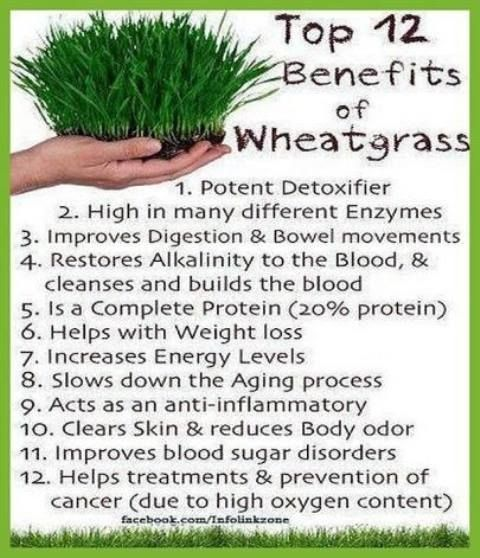 Wheat grass and its benefits.. Wheat grass has an ...