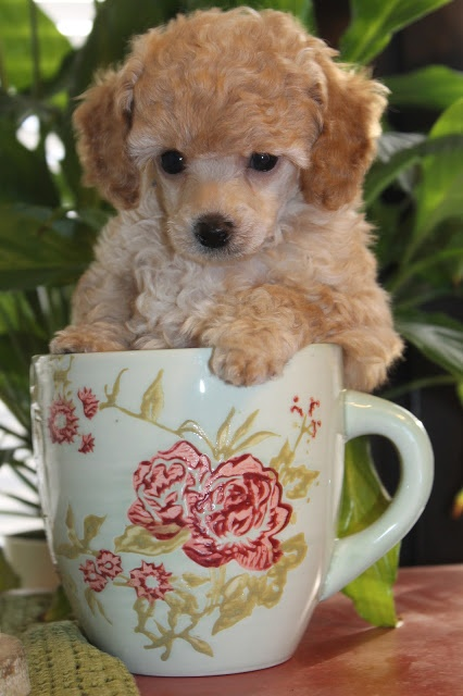 Teacup-poodle . we had one of these. I swear there was no brain. she was not the typical brilliant poodle:) her name was Martini but we called her Tini