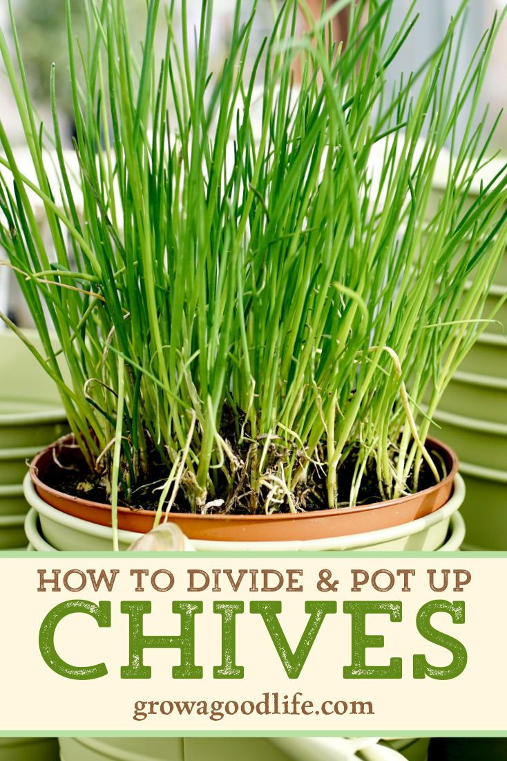 Grow Herbs Indoors Potting Up Chives Chives Plant Spring Vegetable Garden Container Gardening Vegetables