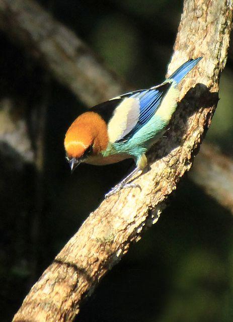 Foto saíra-sapucaia (Tangara peruviana) por Bruno Neri | Wiki Aves - A Enciclopédia das Aves do Brasil