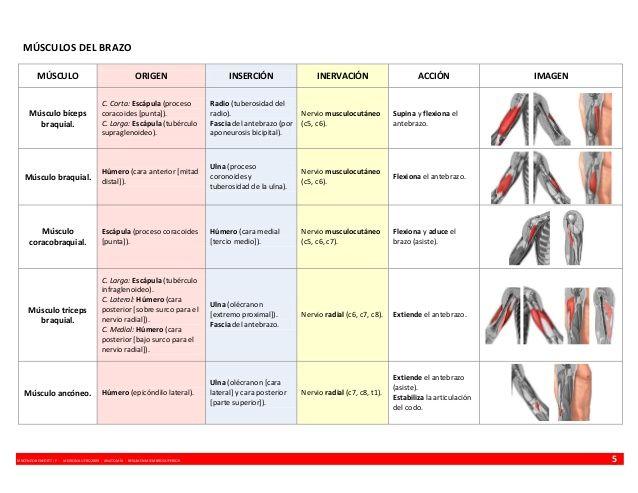 MÚSCULOS DEL BRAZO MÚSCULO  ORIGEN  INSERCIÓN  INERVACIÓN  Músculo bíceps braquial.  C. Corta: Escápula (proceso coracoide...