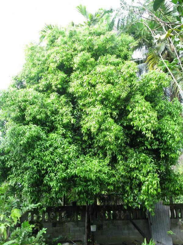 บ้านที่อยู่กลางแดดเปรี้ยง ควรปลูกต้นไม้อะไรดีคะ เพื่อช่วยให้ร่มเงาแก่ตัวบ้านไม่ให้ร้อนเกินไป ** - Pantip