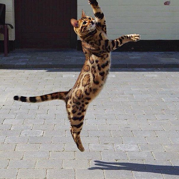 Thor el gato bengalí 3