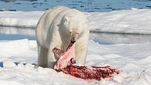 #wildlife #facts #threatened #vulnerable #species Their long muzzle & neck of #polar #bear help it to search in deep holes for seals, while powerful hindquarters enable it to drag massive prey such as bearded seal.