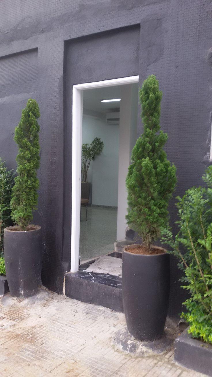 Nome Ciêntifico: Juniperus chinensis torulosa Nomes Populares: Kaizuka, Caiazuka, Caizuca, Cipreste-kaizuka, Junípero-chinês, Kaiazuca Família: Cupressaceae Categoria: Arbustos, Árvores, Árvores Ornamentais, Cercas Vivas Clima: Mediterrâneo, Oceânico, Subtropical, Temperado Origem: Ásia, China, Japão Altura: 3.0 a 3.6 metros, 3.6 a 4.7 metros Luminosidade: Meia Sombra, Sol Pleno Ciclo de Vida: Perene
