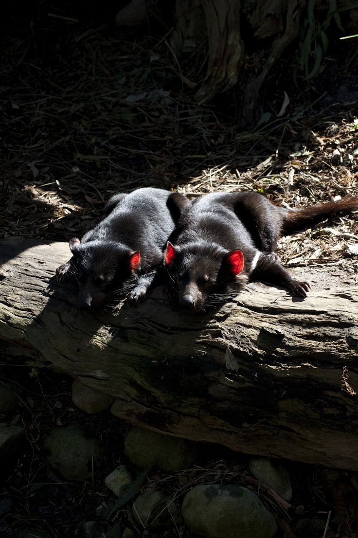In The Sun. tasmanian Devils basking in the sun at Healesville Sanctuary in Victoria, Australia.