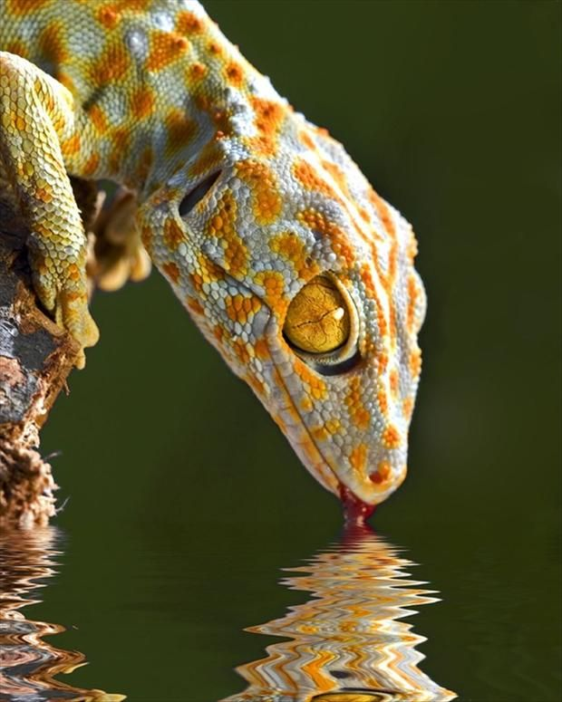 lizard drinking water. Lizards have more than 5,600 species, living all over our word except Antartica. Sight is very important for most lizards, 4 locating prey and for communication& many lizards have highly acute color vision. Most lizards rely heavily on body language, using specific postures, gestures, and movements to define territory, resolve disputes, and entice mates. Some species of lizards also use bright colors, such as the iridescent patches on the belly of Sceloporus.