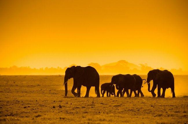 Africa |  Elephants in Amboseli National Reserve, at sunset | © Konstantin Kalishko.