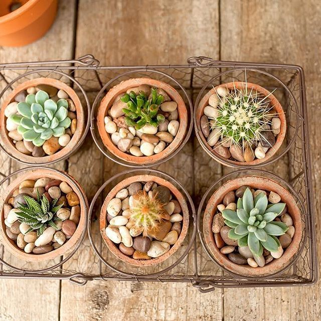 Good things come in sixes - like muffins, geese a'laying , half dozen donuts 🍩 and volleyball teams 🏐 ... but our favourite is this super gorgeous 6 set of succulents!! ❤️ Rustic and simple in a wire basket to keep them together. 😘    #Regram via @westcoastgardens