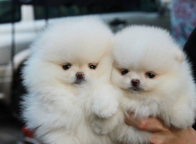 Two Pomeranian Puppies White