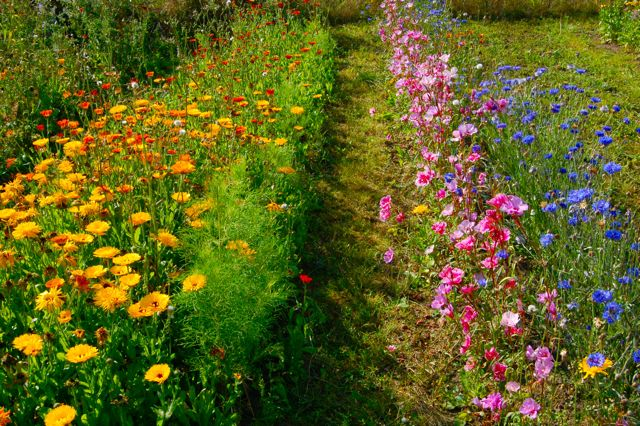 :: Calendula, Godetia & Blue Ball cornflowers ::  :: {we have essential oil fields near to us, pretty}::