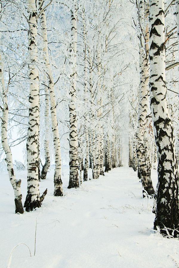 Lake Superior birch trees