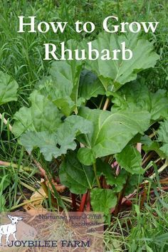 Rhubarb is a hardy perennial that will grow in the most difficult circumstances.  It doesn't mind frost.  It is one of the first plants to show signs of life in the spring. It will often already be growing when the snow melts.