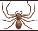 """Venom toxicity - the bite of Huntsman Spiders is of low risk (non toxic) to humans. They are a non-aggressive group of spiders. However, a large individual can give a painful bite. Beware in summer when the female Huntsman Spider is guarding her egg sacs or young. Spider Identification - an adult varies greatly around 1/2"""" in body length - has long legs - the diameter of an adult including legs may reach 2"""" - the first 2 pairs of legs are longer than rear two - it is hairy - buff to beige…"""