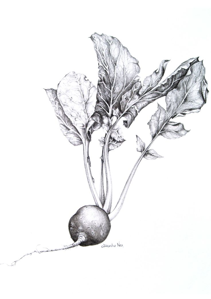 vintage illustration beetroot - Sök på Google