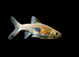 17 Best images about Rasbora Fish Family on Pinterest ...