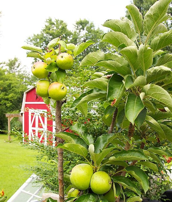 Apple Trees That Grow In Pots Apple Tree Potted Trees Urban Garden