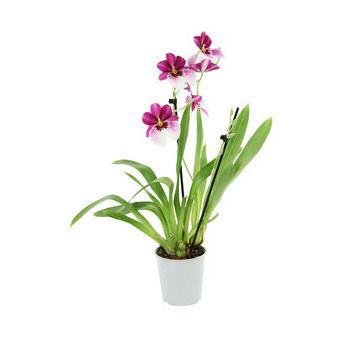 Miltonia 2t D12 Violet Jardinerie Truffaut Orchidee Et Jardinerie
