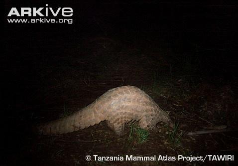 Giant ground pangolin