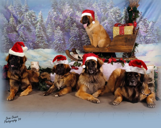 Leonberger Christmas pups