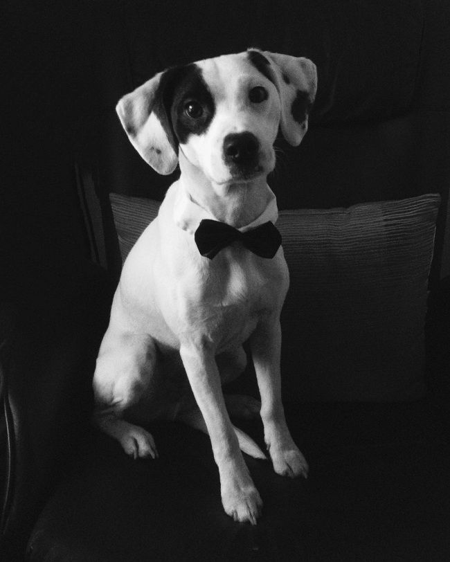 beagle jack russell mix black and white