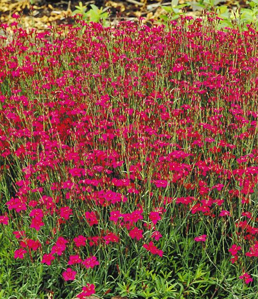 Rote Heidenelke