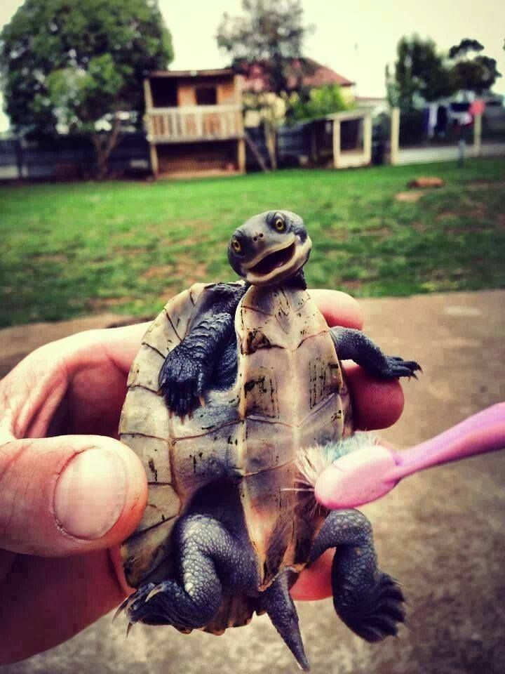 Here is a photo of a turtle being tickled with a tooth brush.