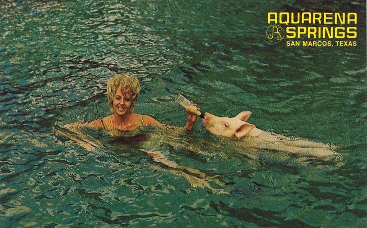 Ralph the Swimming Pig at Aquarena Springs-I remember Ralph!!!  He lived in San Marcos where I went school!