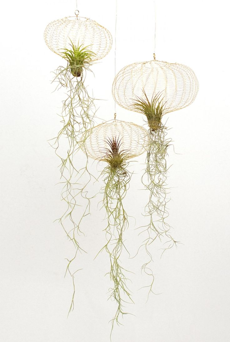 Best 25 air plant display ideas on pinterest air plants for Air plant art