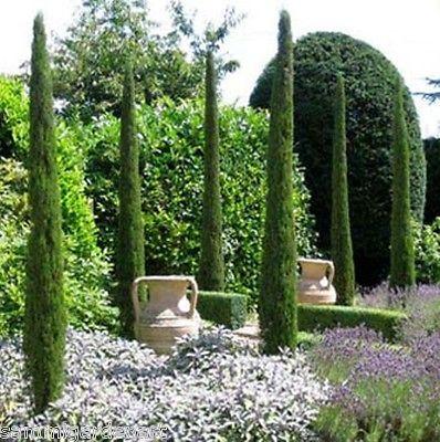 Cupressus Sempervirens 'Totem' Italian Cypress Conifer-130-140cm | eBay