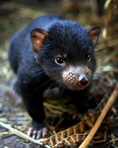 The Tasmanian devil (Sarcophilus harrisii) is a carnivorous marsupial of the family Dasyuridae, now found in the wild only on the Australian island state of Tasmania. The size of a small dog, it became the largest carnivorous marsupial in the world following the extinction of the thylacine in 1936.