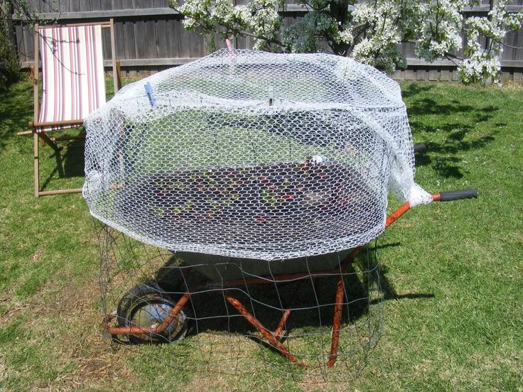 Nina: 1 Birds: 0  - Beetroot being kept safe from the birds