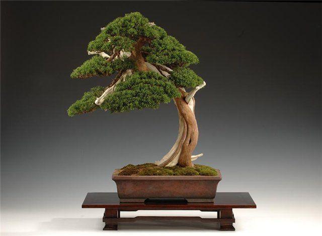 Искусство бонсай возникло ещё в древнем Китае и переводится как «выращенное дерево в горшке»