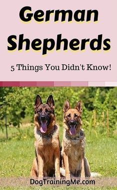 German Shepherds are more than just brains, brawn, and beauty! Find out the 5 surprising things you didn't know about our lovely German Shepherd Dogs and watch a rare video featuring one of Hollywood's favorite dogs in our article!