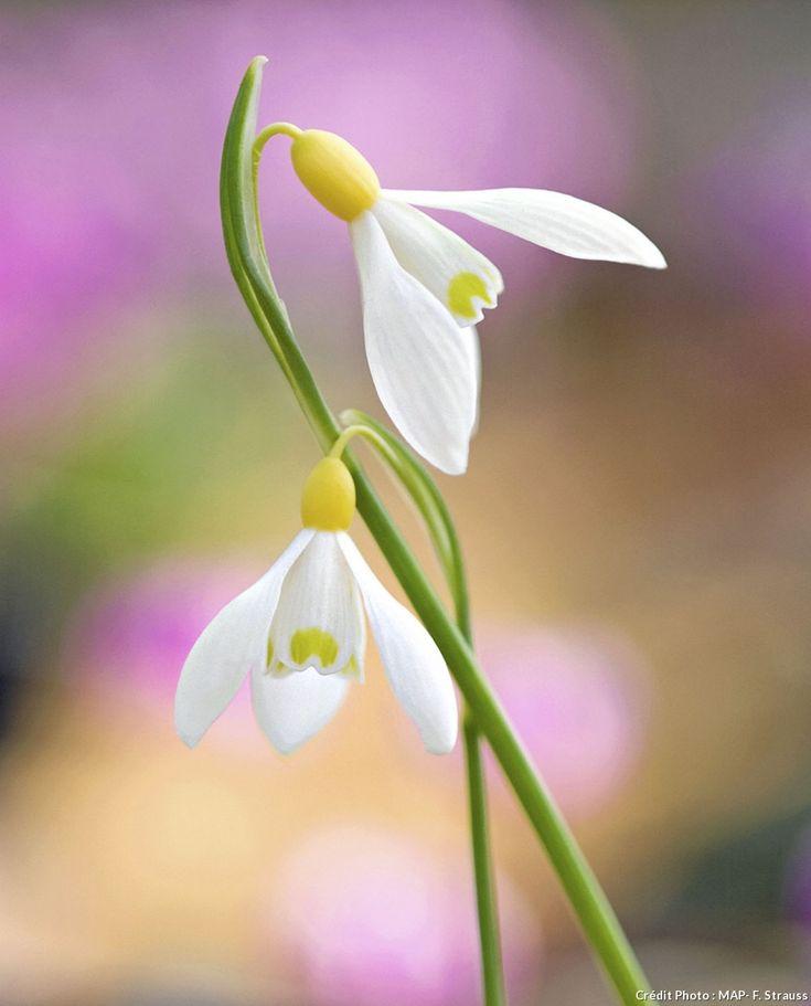 Perce neige - L'essentiel de ce qu'il faut faire au jardin avant l'arrivée du printemps #lesbonsgestes