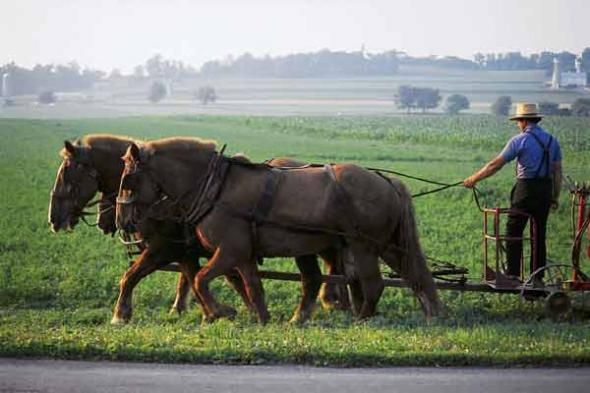 Amish man driving his team of draft horses